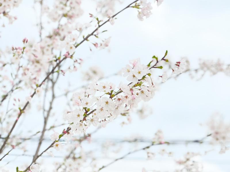 桜の写真04